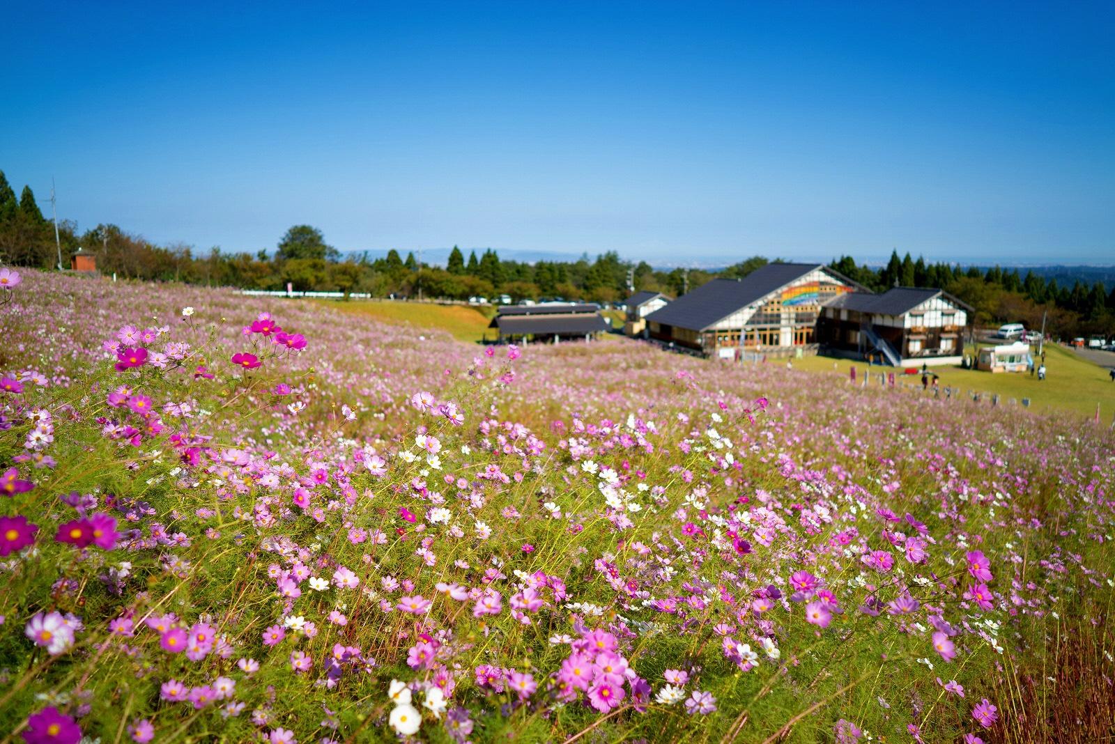Strolling through the Cosmos Flowers at Tonami Yumenotaira